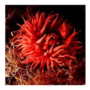 anemone 300
